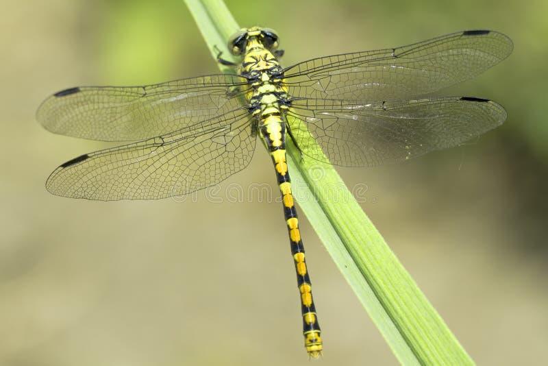 Ophiogomphus塞西莉亚/绿色Snaketail蜻蜓 库存图片