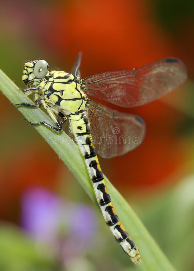 Ophiogomphus Cecilia, zieleni Snaketail dragonfly/ zdjęcia royalty free