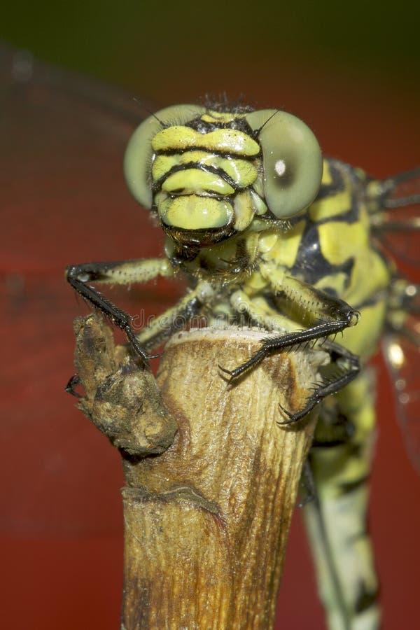 Ophiogomphus Cecilia, zieleni Snaketail dragonfly/ obrazy royalty free