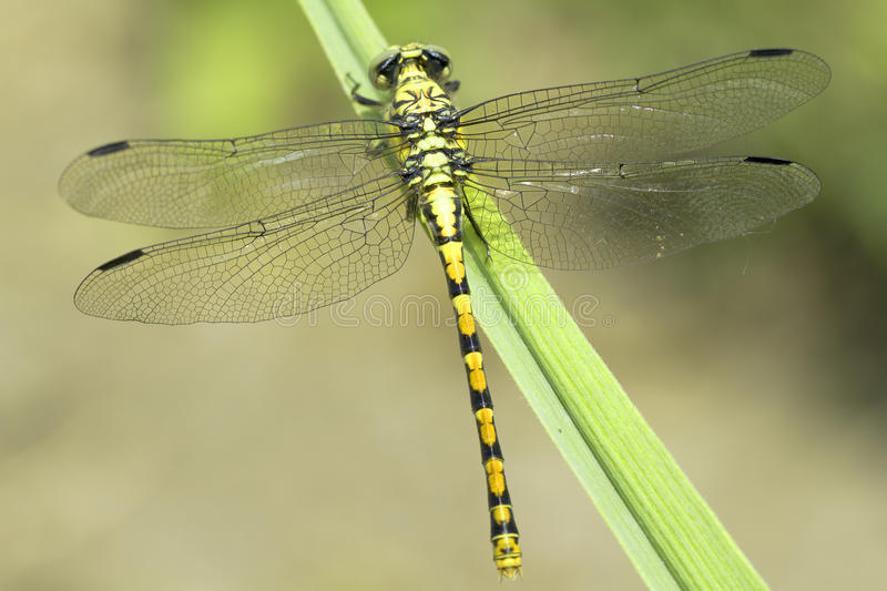 Ophiogomphus Cecilia, zieleni Snaketail dragonfly/ obrazy stock