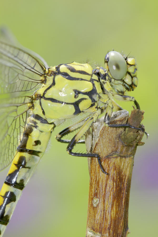 Ophiogomphus Cecilia, zieleni Snaketail dragonfly/ obraz royalty free