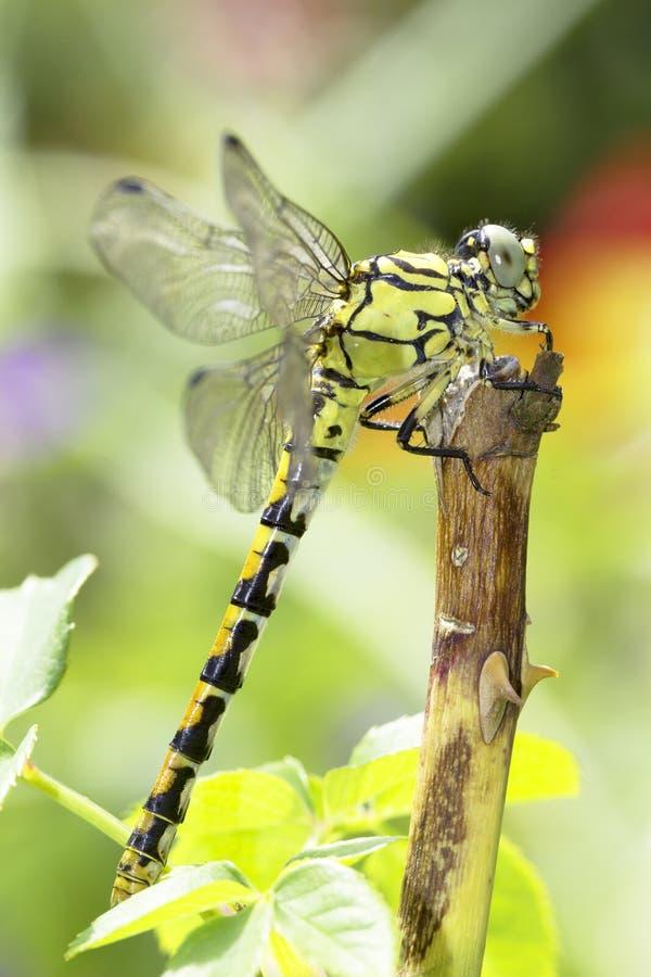 Ophiogomphus Cecilia, zieleni Snaketail dragonfly/ zdjęcia stock
