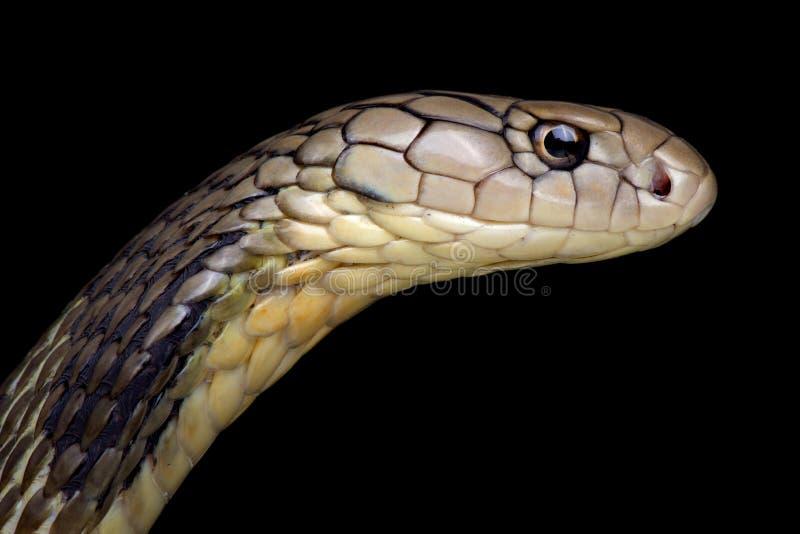 Ophiophagus chino Hannah de la cobra real imágenes de archivo libres de regalías