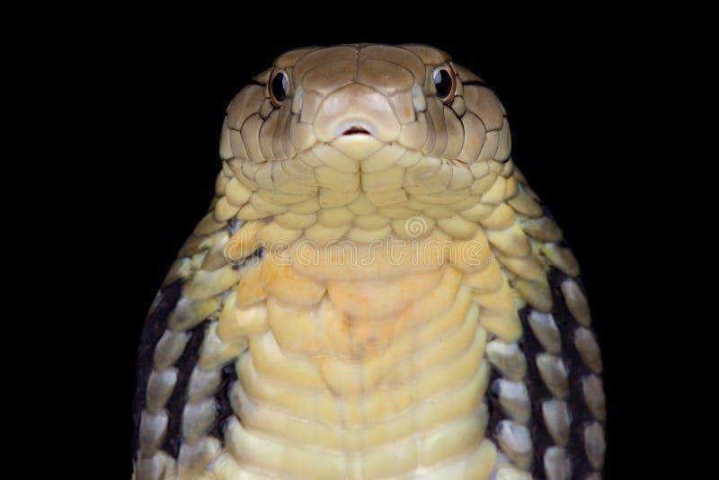 Ophiophagus chino Hannah de la cobra real fotografía de archivo