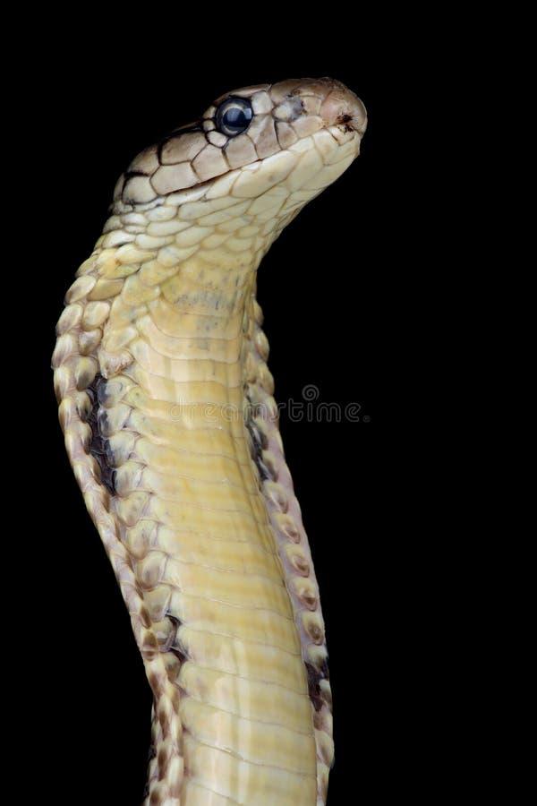 Ophiophagus filipino Hannah de la cobra real imagen de archivo