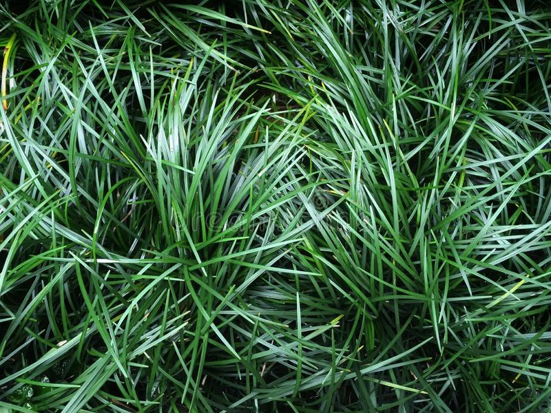 Ophiopogon japonicus dark green leaves of grass by ground cover plant background. Ophiopogon japonicus mini mondo grass or snakes beard dark green leaves of royalty free stock photo