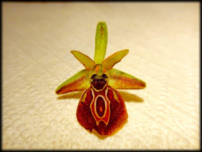 Ophrys在顶面优质印刷品的野花在开花背景中和墙纸 免版税库存图片