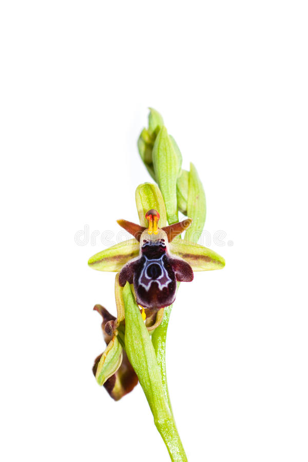 Download Ophrys ariadnae stock photo. Image of vibrant, ariadnae - 14243476