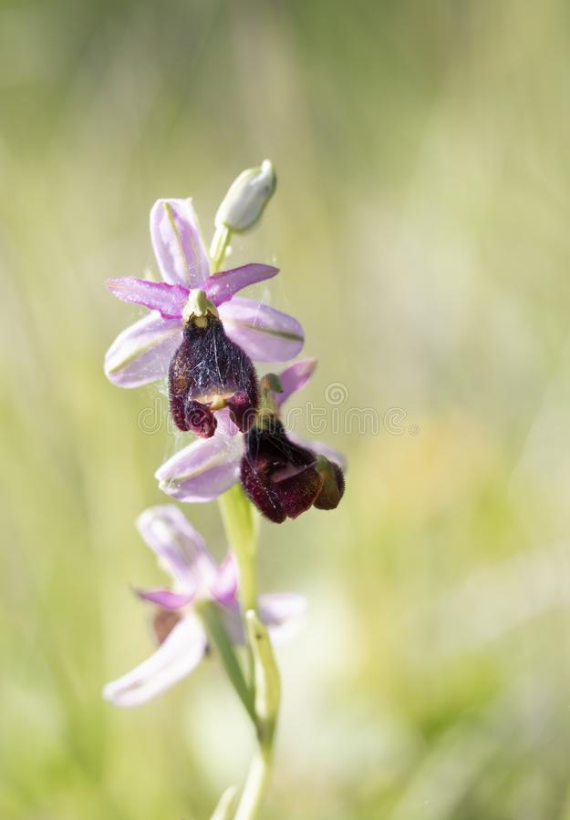 Ophrys bertolonii, a wild orchid typical of the Italian Apennines. stock photo