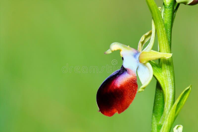 Download Ophrys helenae stock image. Image of plant, apifera, botany - 28602003
