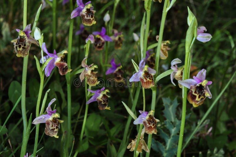 Ophrys lycia w lesie, Lycian-Kas orchidee, gatunki endemiczne, Anatolia zdjęcia royalty free