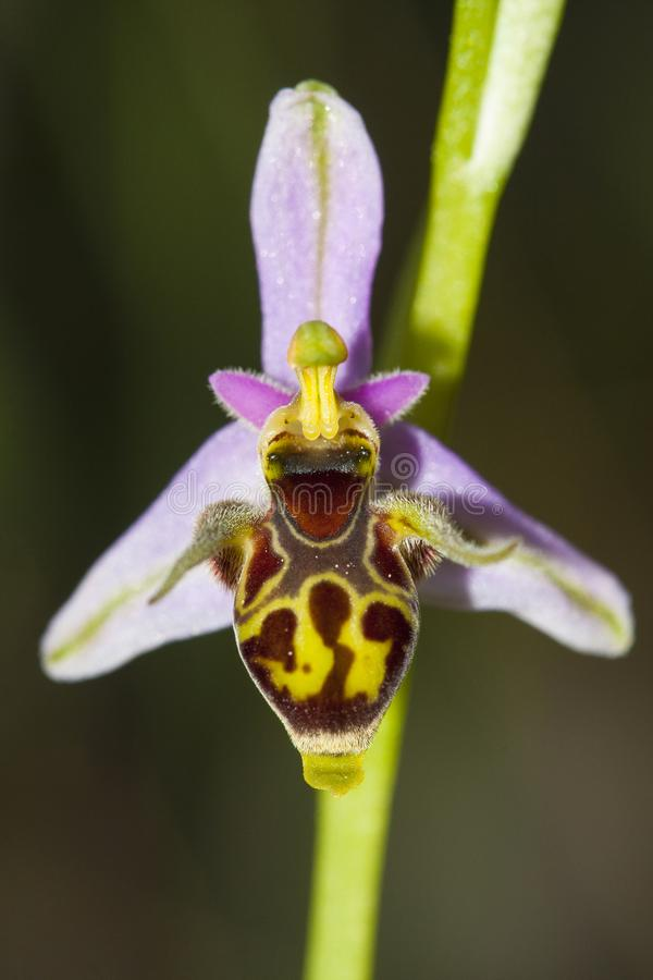 Ophrys scolopax, known as the woodcock bee-orchid or woodcock orchid, is a species of terrestrial orchid found around stock images