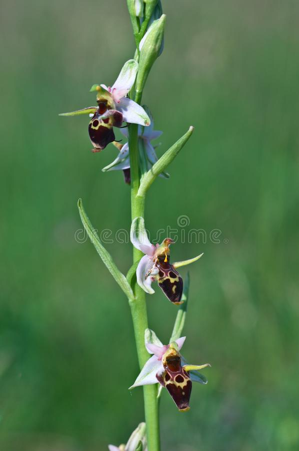 Ophrys scolopax - Ophrys scolopax subsp. cornuta Steven E.G.Camus. Ophrys scolopax subsp. cornuta Steven E.G.Camus - still life. Beautiful macrophotography with stock photos