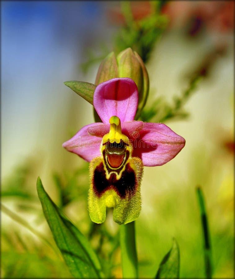 Ophrys tenthredinifera宏观在顶面优质印刷品的花在开花背景中和墙纸 免版税库存照片