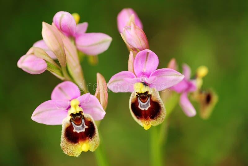 Ophrys tenthredinifera,锯蝇兰花, Gargano在意大利 开花的欧洲地球野生兰花,自然栖所 美好的det 库存照片