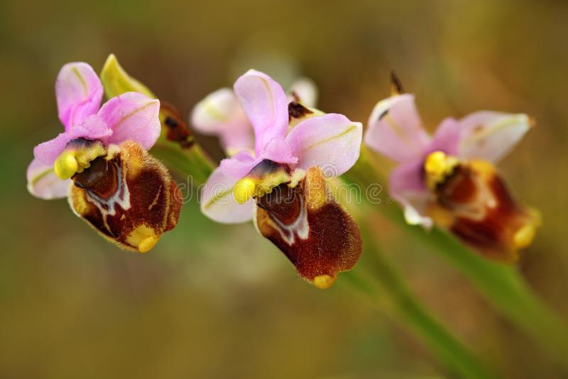 Ophrys tenthredinifera,锯蝇兰花, Gargano在意大利 开花的欧洲地球野生兰花,自然栖所 美好的det 免版税图库摄影