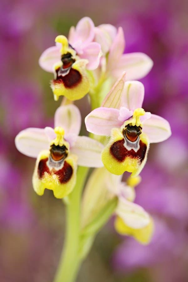 Ophrys tenthredinifera,锯蝇兰花, Gargano在意大利 开花的欧洲地球野生兰花,自然栖所 美好的det 免版税库存图片