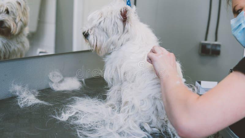 Opieka włosy Zachodni średniogórze biały Terrier płytkie ogniska, zdjęcie royalty free