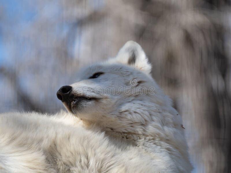 Opierać Zmonopolizowany Szary wilk zdjęcia stock