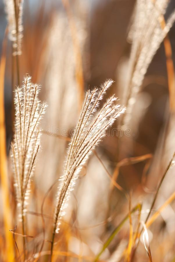 Opierzona jesieni trawa zdjęcie stock