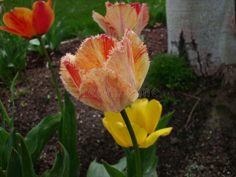 Opierzony tulipan zdjęcia stock