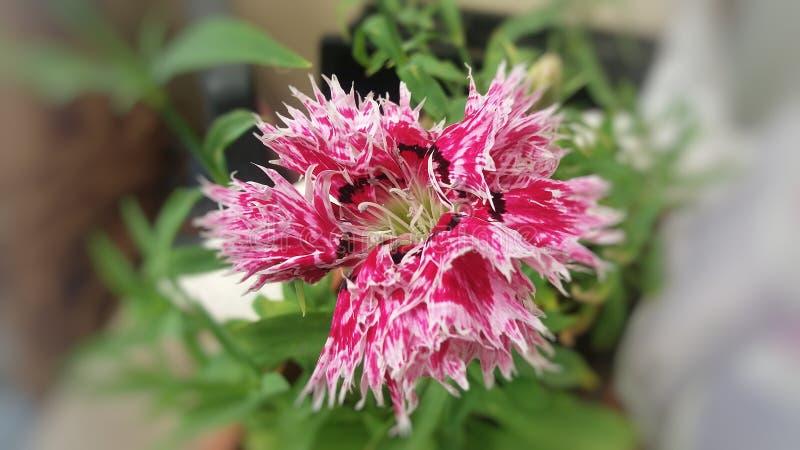 Opierzony wielki Dianthus kwiat zdjęcie royalty free