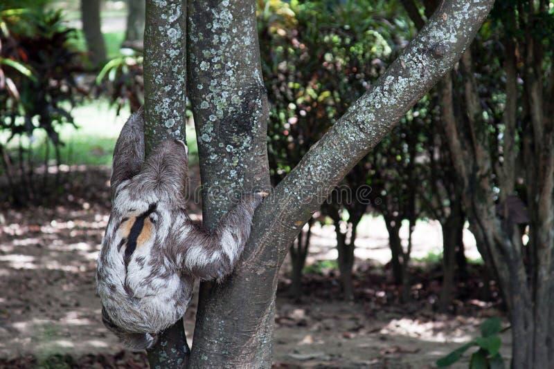 Opieszałość niedźwiedź dostaje na drzewie fotografia royalty free