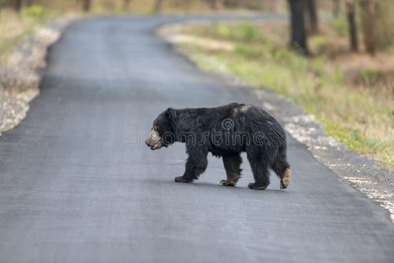 Opieszałość niedźwiedź krzyżuje autostradę blisko Chandrapur, Tadoba, maharashtra, India fotografia royalty free