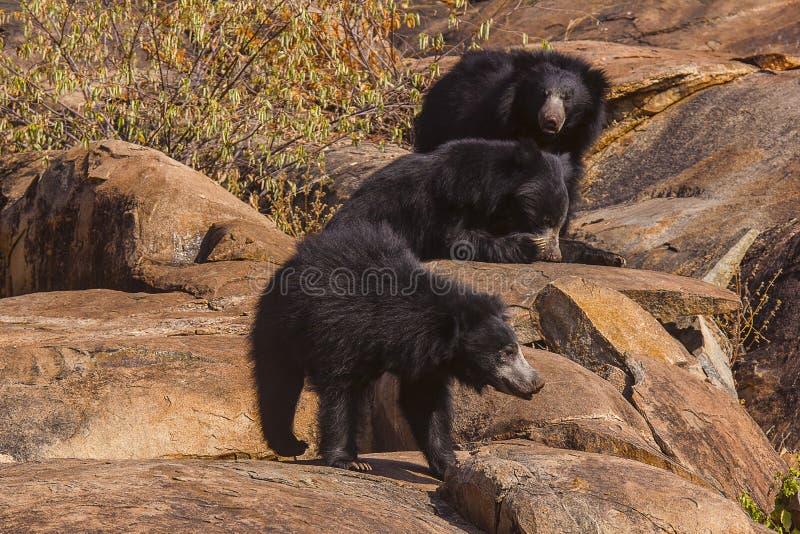 Opieszałość niedźwiedź, Melursus Ursinus Daroji Znosi sanktuarium, Ballari okręg, Karnataka zdjęcia stock