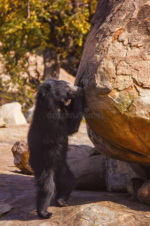 Opieszałość niedźwiedź, Melursus Ursinus Daroji Znosi sanktuarium, Ballari okręg, Karnataka obrazy stock