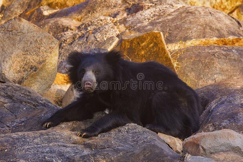 Opieszałość niedźwiedź, Melursus Ursinus Daroji Znosi sanktuarium, Ballari okręg, Karnataka fotografia stock