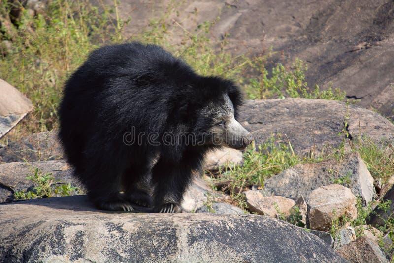 Opieszałość niedźwiedź, Melursus Ursinus Daroji Znosi sanktuarium, Ballari okręg, Karnataka zdjęcie royalty free