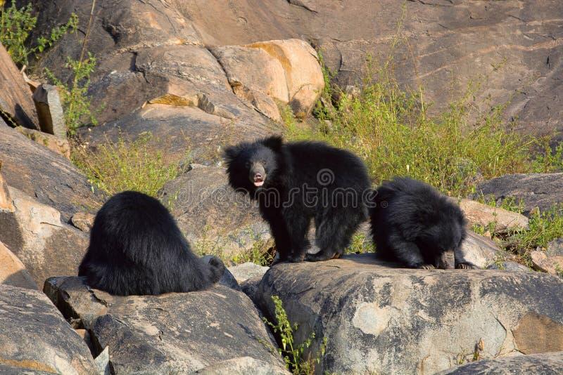 Opieszałość niedźwiedź, Melursus Ursinus Daroji Znosi sanktuarium, Ballari okręg, Karnataka zdjęcie stock