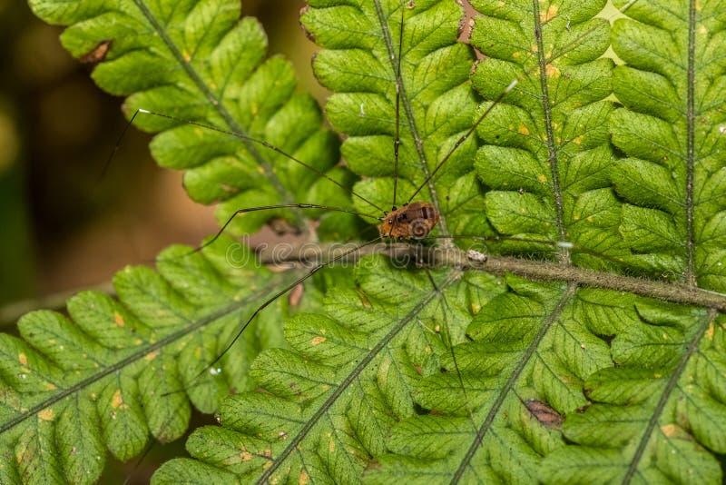 Opiliones - faucheur photo libre de droits