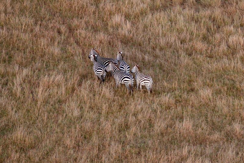 Opinião aérea as zebras em Masai Mara, Kenya, África fotos de stock