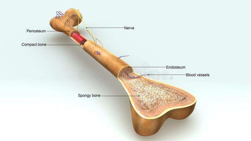 Opinião aérea da anatomia do osso ilustração do vetor