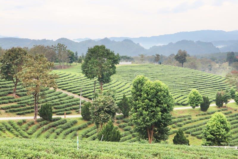 Opinião aérea do panorama da exploração agrícola da plantação de chá em Chiang Rai, destino popular do turista no trajeto do nort imagem de stock