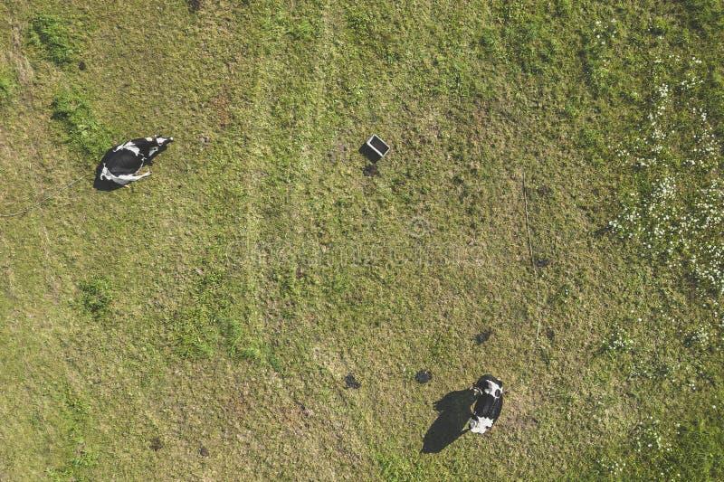 Opinião aérea do zangão as vacas foto de stock