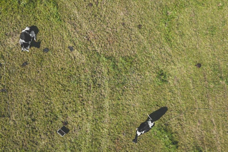 Opinião aérea do zangão as vacas fotos de stock royalty free