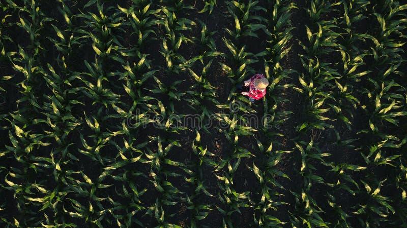 Opinião aérea o fazendeiro fêmea com a tabuleta no campo de milho fotografia de stock