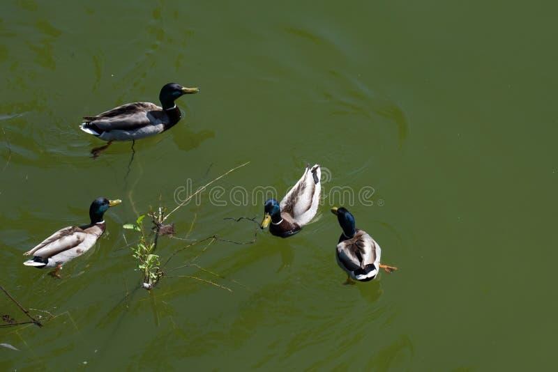 Opinião aérea os patos múltiplos que nadam por um ramo de árvore lanç na água imagem de stock
