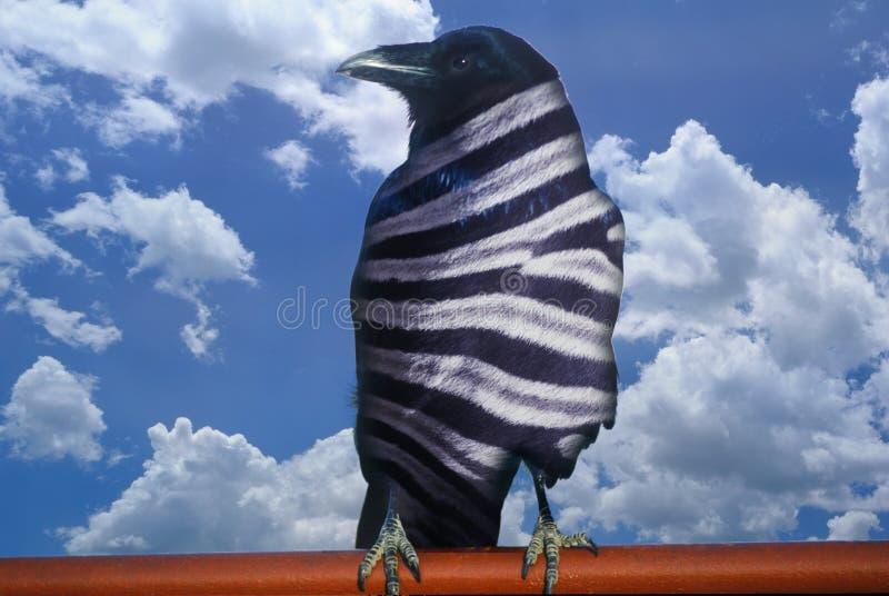 A opinião alterada Digital uma zebra listrou o corvo preto e o céu azul com nuvens brancas fotografia de stock