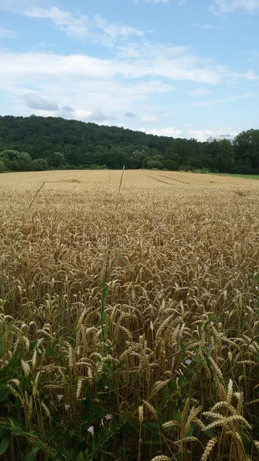 Opinião amarela de campo de milho fotografia de stock