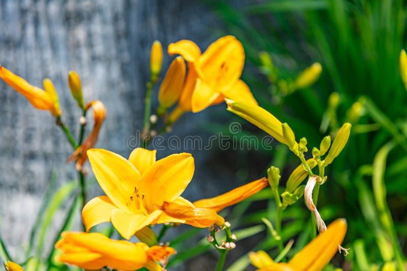 Opinião amarela do close up das flores da frésia da cor, dia de mola ensolarado foto de stock royalty free