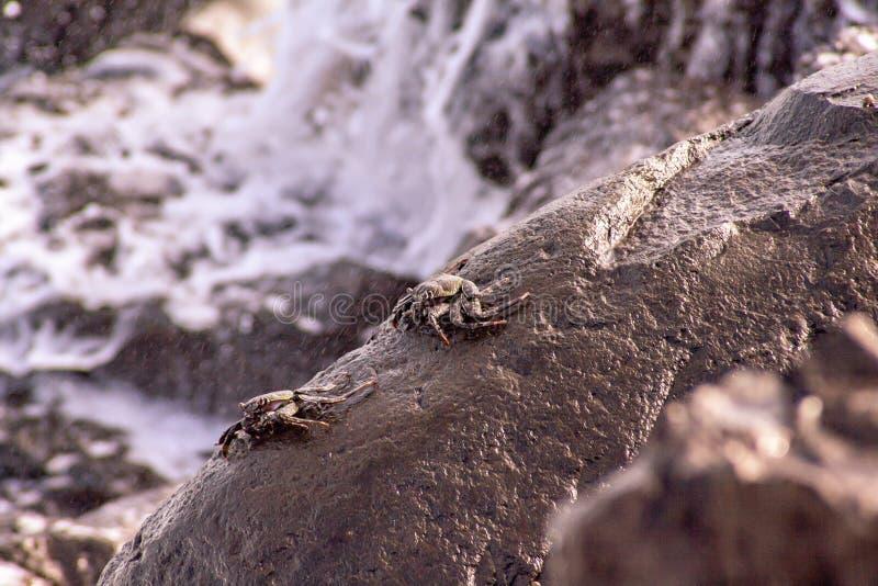 Opinião ascendente próxima caranguejos do mar na rocha foto de stock