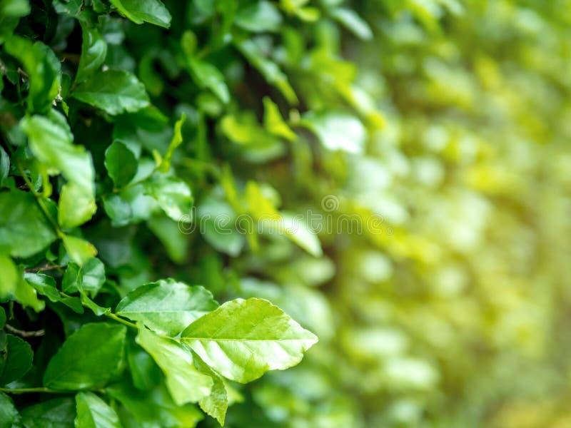 Opinião ascendente próxima da natureza da folha verde no fundo borrado das hortaliças no jardim, plantas verdes naturais paisagem fotos de stock royalty free