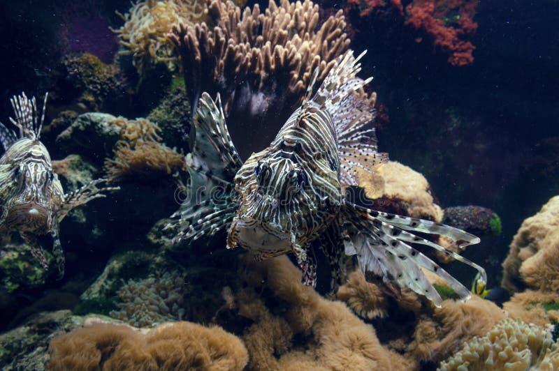 Opinião ascendente próxima o lionfish foto de stock