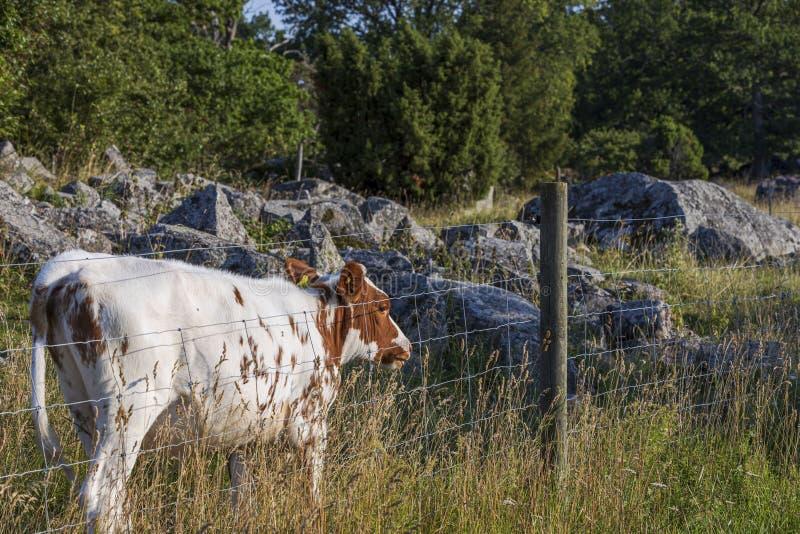 Opinião ascendente próxima a vaca marrom branca bonito no pasto Fundo bonito dos animais imagens de stock royalty free