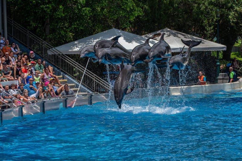 A opinião bonita os golfinhos que saltam em dias do golfinho mostra em Seaworld 2 imagem de stock