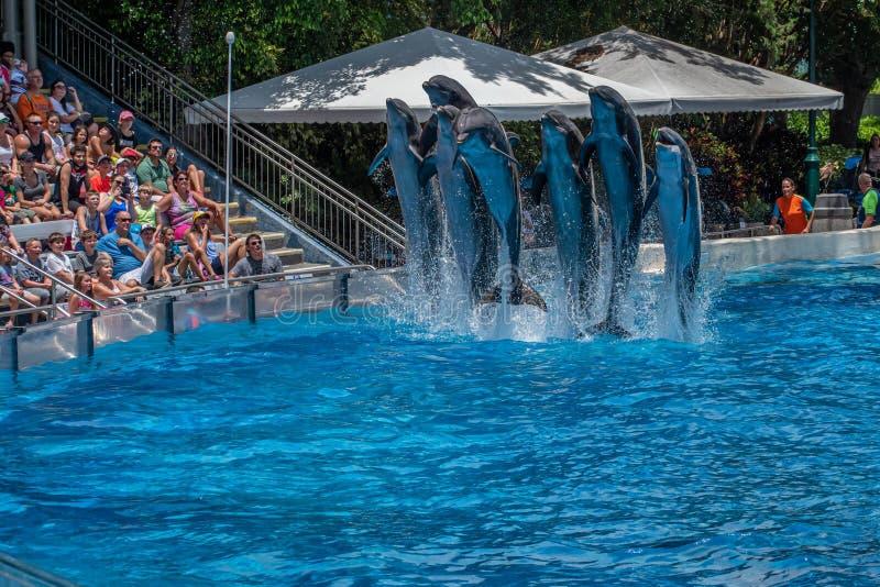 A opinião bonita os golfinhos que saltam em dias do golfinho mostra em Seaworld 6 imagens de stock